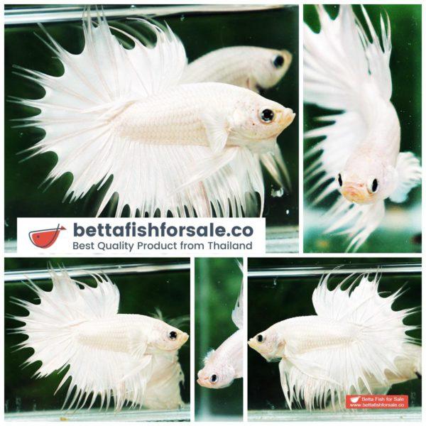 o06 191 CT Perfect White Dragon Platinum