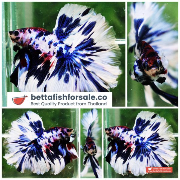 o07 212 OHM Fancy Blue Marble Rose tail
