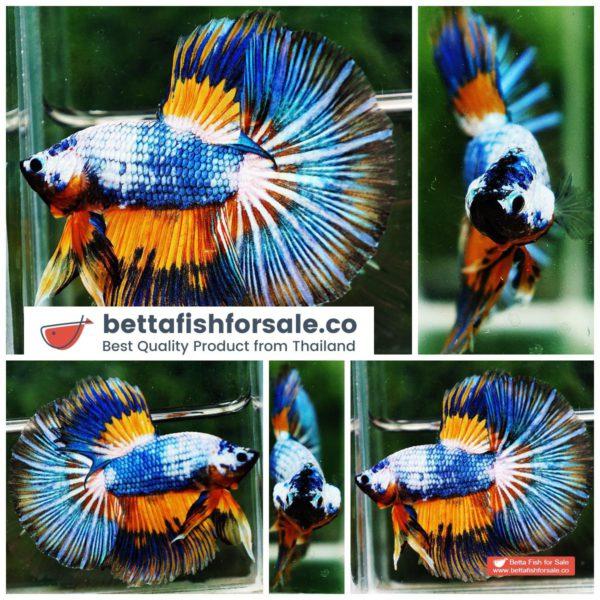 o07 272 HM Multicolor Fancy Macaw Comp Grade