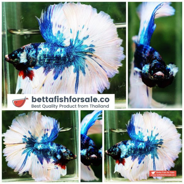 o07 293 OHM Prince of Blue Marble Sky Hawk