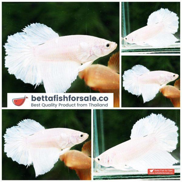 o08 061 Female HM White Opaque Rose tail