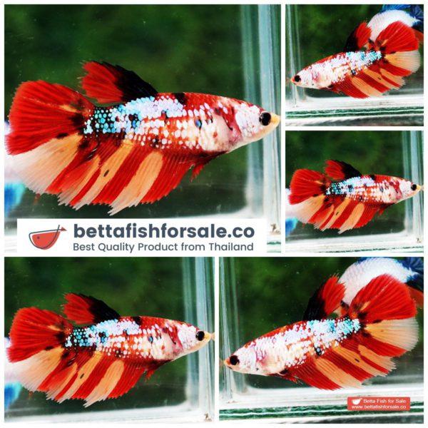 o08 064 Female HM Multicolor Candy On Fire