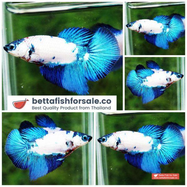 o08 065 Female Princes HM Blue Dragon Marble