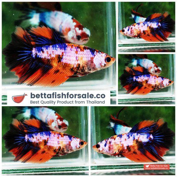o08 068 Female HM Multicolor Nemo