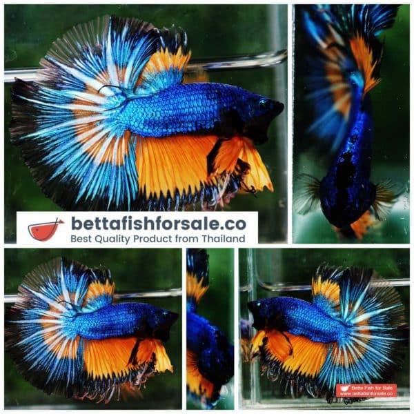 o08 072 OHM Blue Mustard Gas Butterfly