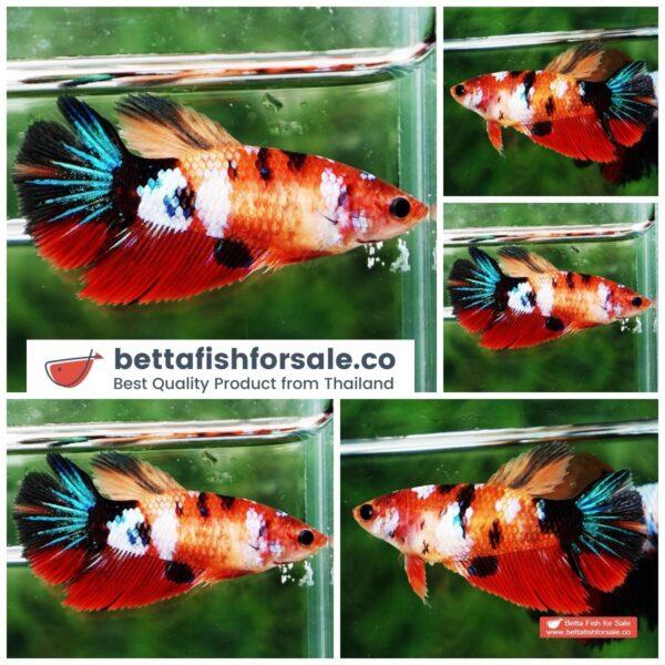 o08 067 Female HM Candy Nemo