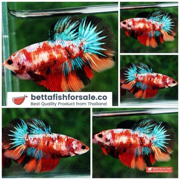 o08 1113 Female HM Emerald Candy Nemo