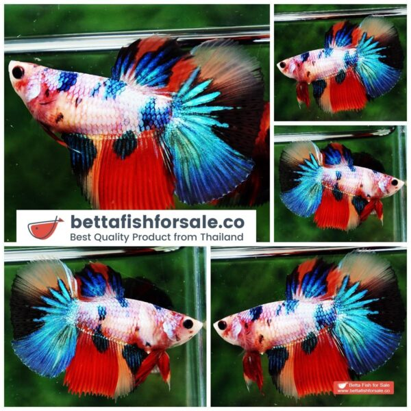 o08 1114 Queen of Emerald Rainbow Candy Nemo Large Fin Genetic