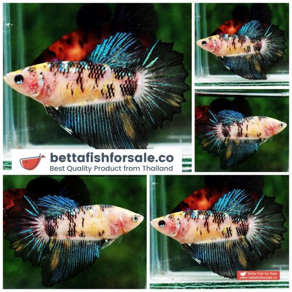 o08 1115 Female HM Emerald Yellow Tiger Rose tail