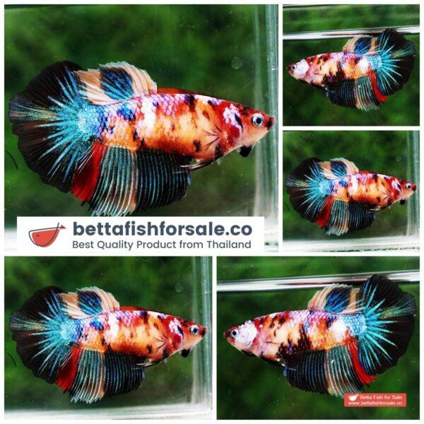o08 113 Female HM Multicolor Candy Nemo