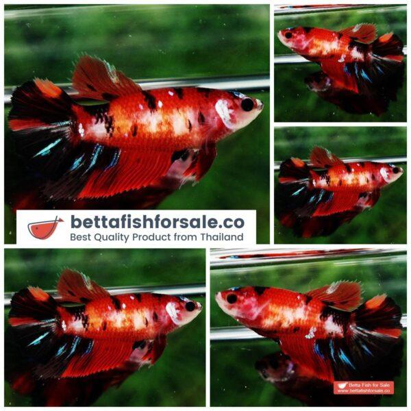 o08 114 Female HM Red Nemo Koi