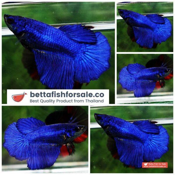 o08 116 Female HM Royal Blue