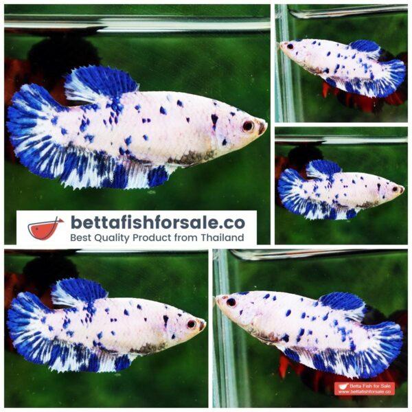 o08 117 Female HMPK Princes Blue Marble Dot