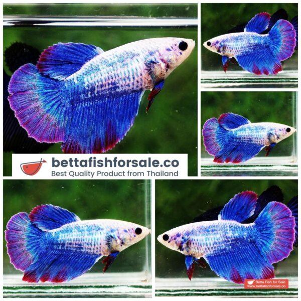 o08 271 Female HM Blue Mascot