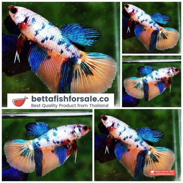 o08 272 Female HM Multicolor Candy Nemo