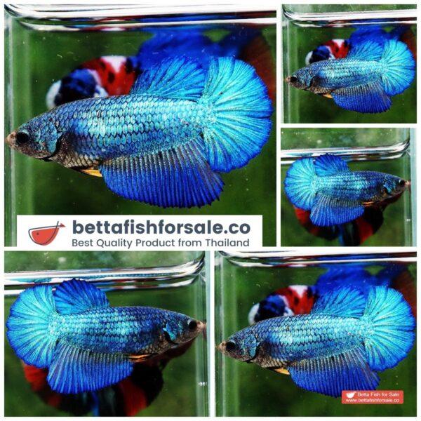 o08 275 Female HM Classic Turquoise