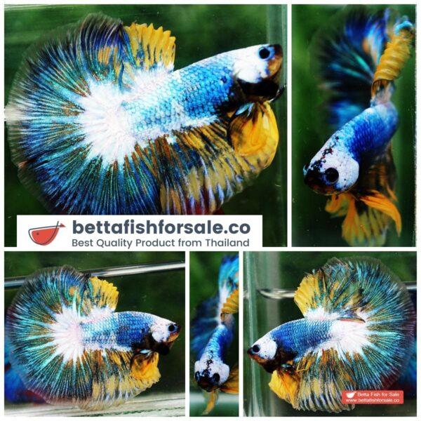 o08 312 OHM Fancy Yellow Blue Macaw