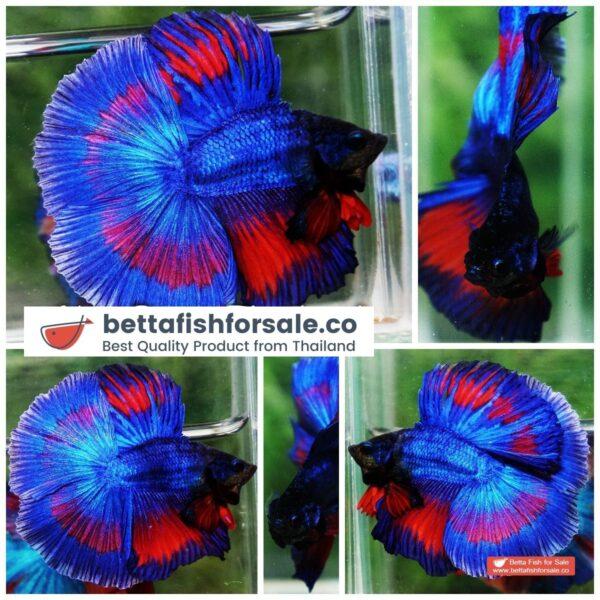 o08 313 DTHM Blue On Fire Butterfly