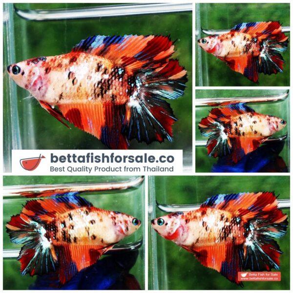 o08 314 Female DTHM Candy Nemo