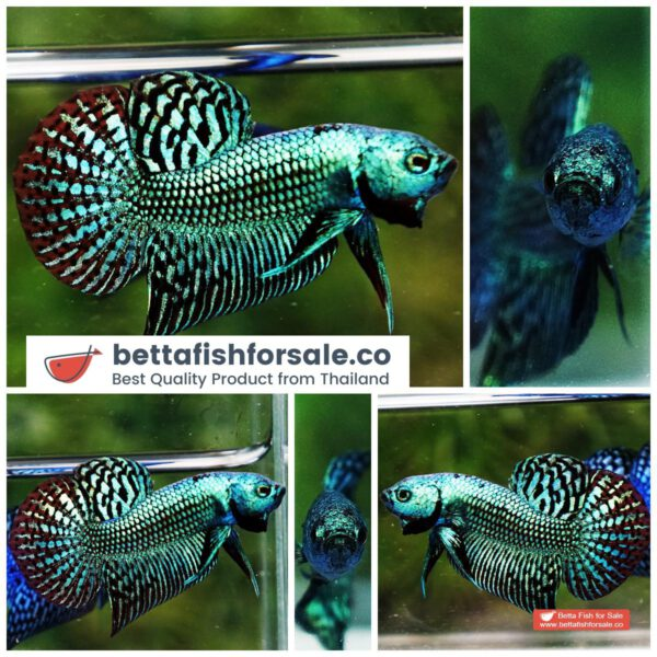 o09 191 Wild Betta fish Super Green Alien Hybrid