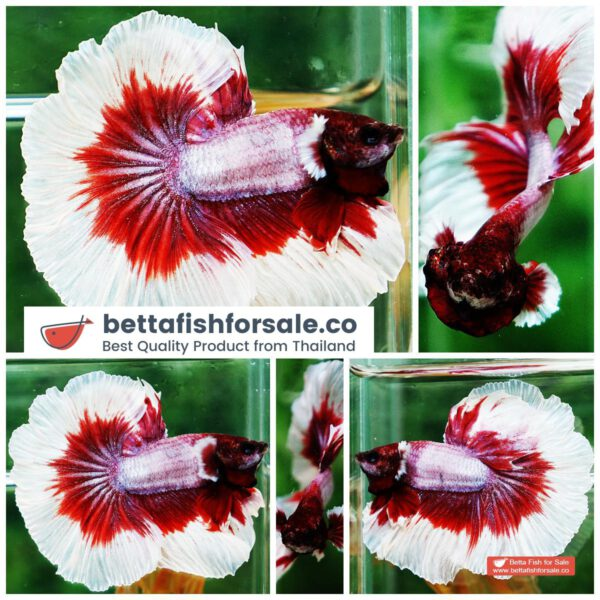 o09 261 OHM Red Lavender Rose tail