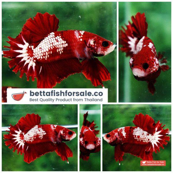 o09 302 OHMPK Red Samurai Star Feather tail