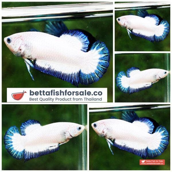 o05 1015 Female HMPK Blue Rim