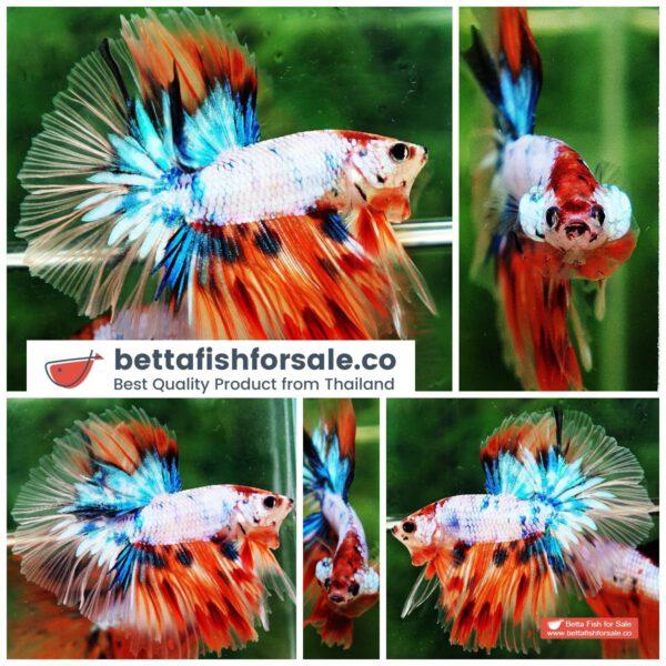o10 073 OHM Candy Nemo Star Tail Hawk