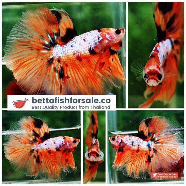 o10 074 OHM The Nemo Tiger