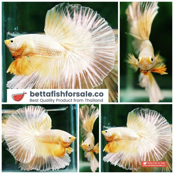 o10 082 OHM Super Gold Butterfly Sky Hawk